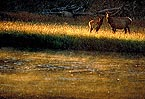 Elk in Yellowstone Park